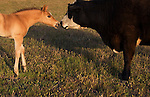San Luis Obispo, California.A colt meets a friendly cow