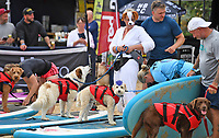 BNPS.co.uk (01202 558833)<br /> Pic: ZacharyCulpin/BNPS<br /> <br /> Pictured: Competitors at the start line<br /> <br /> Putting their best paw forward hoping to ride the wave of success - Competitors and their dogs take part in the annual Dog Surfing championships. <br /> <br /> The event known as The 'dogmasters' took place today on Bournemouth beach in front of packed crowd, it's the country's only dog surfing and paddleboard championship.