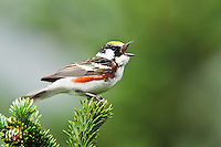 Chestnut-sided Warbler (Dendrocia pensylvanica) in Fraser fir (Abies fraseri) in song, Roan Highlands