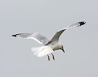 Adult ring-billed gull in non-breeding plumage