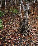 Fallen Leaves, Mangrove Forest<br /> Cairns Mangrove Boardwalk<br /> FNQ