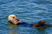 Southern sea otter or California sea otter, Enhydra lutris nereis, Monterey Bay National Marine Sanctuary, Monterey, California, USA, Pacific Ocean