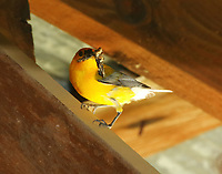 Prothonotary warbler with insect coming to nest