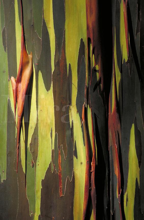 Detail of rainbow eucalyptus bark; some edges rolling up. Hawaii USA Maui Keanae Arboretum.