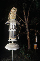 Barred Owl (Strix varia), adult perched on bird feeder at night, Raleigh, Wake County, North Carolina, USA