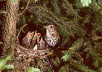 Singdrossel, am Nest mit Küken, Sing-Drossel, Drossel, Turdus philomelos, Song Trush, La Grive musicienne