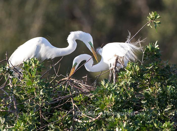 Great egret pair building nest