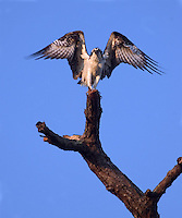 An Osprey spreads its wings while pershed in a tree at sunrise by Sebastian, Florida.