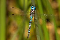 339360003 a wild male blue-eyed darner rhionaescna multicolor perches on a tall reed along piru creek los angeles county california united states
