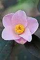 Camellia x Williamsii 'Philippa Forwood' (japonica x saluenensis), mid March.
