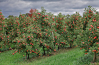 Apple orchard, Lancaster, Pennsylvania, USA