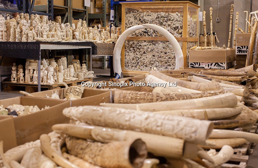 A photo made available shows confiscated ivory tusks, estimated by US wildlife officials to be from around 2,000 elephants, at the National Wildlife Property Repository, 13 November 2013, Denver, Colorado, United States, 14 November 2013. The United States Fish and Wildlife Service is set to destroy their entire stockpile of seized ivory dating back to the 1980's by using a rock crushing machine to send a strong signal to poachers in Africa, and consumers in Asia and the United States, that the US government will not tolerate ivory trafficking. Elephant populations are in steep decline due to poaching and rampant demand, mostly from China, but also the US. The US confiscated ivory destruction follows similar symbolic events in the Gabon, Kenya and Philippines.