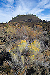 Rabbitbrush and Lava Butte; Lava Lands Visitor Center, Newberry National Volcanic  Monument, central Oregon.