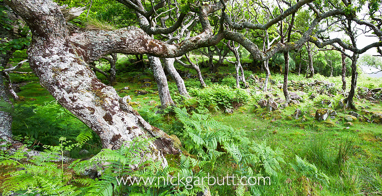 Ancient oak trees (Quercus sp) in Scarsdale Wood, coast of Isle of Mull, Inner Hebrides, Scotland, UK, June