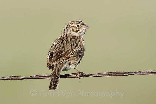 Adult Vesper Sparrow (Pooecetes gramineus) on fence. Southeast Alberta, Canada. May.