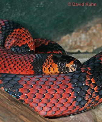 0218-08vv  Honduran Milk Snake, Lampropeltis triangulum hondurensis © David Kuhn/Dwight Kuhn Photography