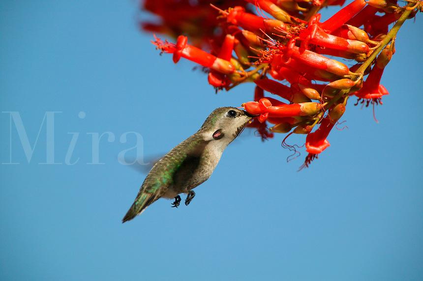 A humming bird and an Ocotillo (Fouquieria splendens) cactus bloom near Joshua Tree National Park,  California.