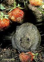 MU30-172z  Meadow Vole - eating strawberries - Microtus pennsylvanicus