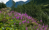 Fireweed by creek in Independence Mine State Historical Park, Alaska