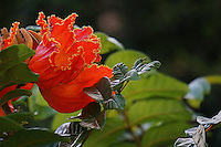 A close-up of a frilly-petaled orange African tulip tree blossom, Hawai'i.