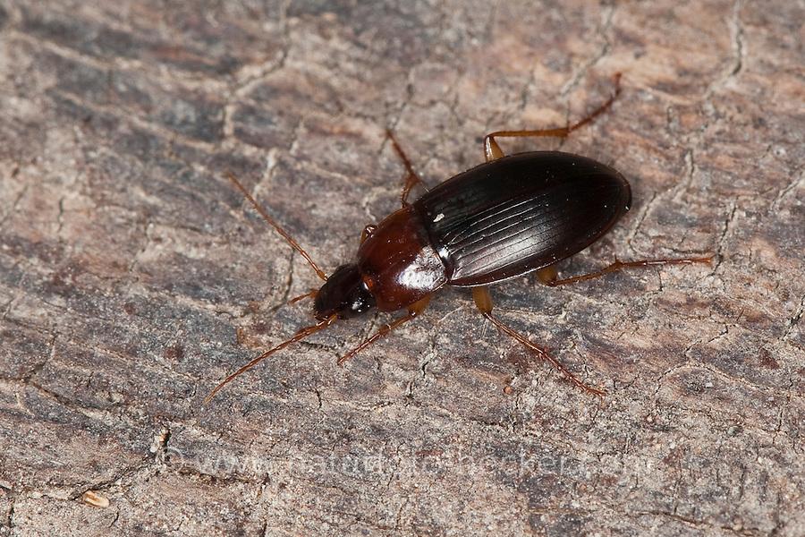 Kahnläufer, Kreiselkäfer, Breithalsläufer, Laufkäfer, Calathus spec., Neocalathus spec., ground beetle, Korsika