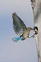 Mountain Bluebird (Sialia currucoides), male at nesting cavity, Rocky Mountain National Park, Colorado, USA