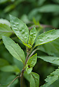 Basil 'Anise', sometimes known as licorice or liquorice basil.