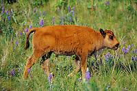 Young Bison calf  (Bison bison) walking among wildflowers..Montana.