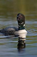 Common Loon (Gavia immer) calling.  Northern North America, Summer.  Sometimes also called Great Northern Loon or Diver.