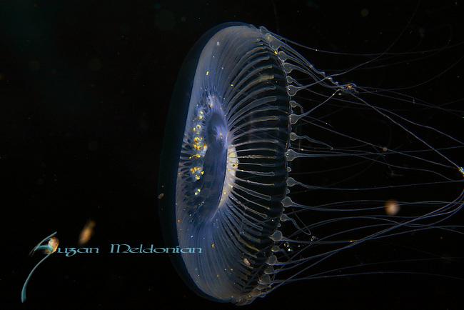 Jellyfish - Aequorea