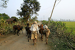 A farmer herds his cattle near the village of Sauraha, Nepal, near Chitwan National Park.