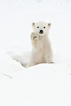 """As if to say hi, this tiny polar bear cub """"waves"""" his furry paw in greeting to his new world as he comes out of the den in Manitoba, Canada."""