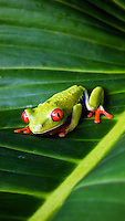 A red-eyed tree frog in Coasta Rica