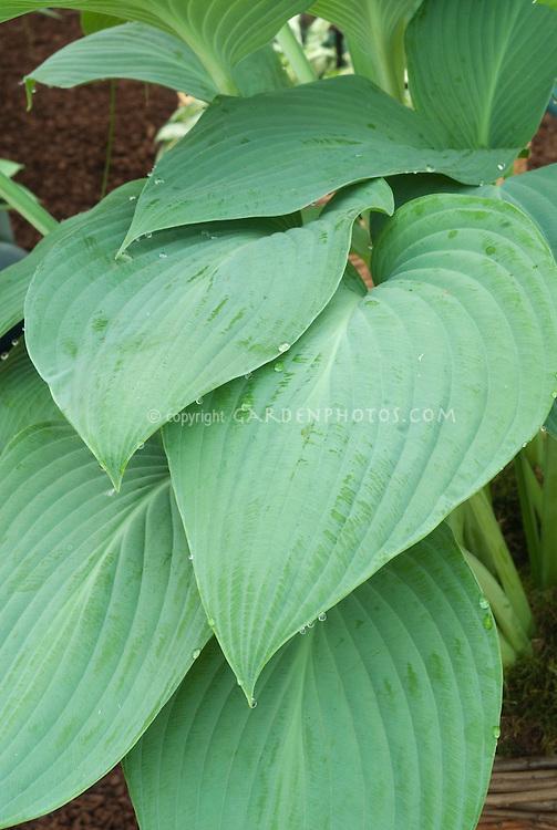 Hosta Snowden, an excellent foliage plant for dry shade garden