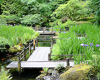 Zig zag bridge in the lower strolling pond garden among the Japanese iris beds with koi swimming in the pond on a summer day.  This is old bridge.  Bridge was rebuilt in 2010 to make it wider.
