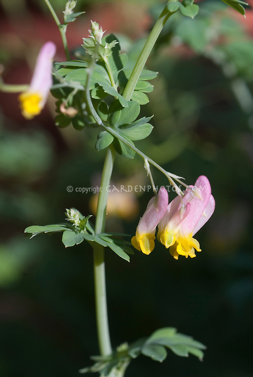 Corydalis sempervirens in yellow and pink flowers closeup