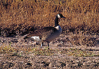 Canada Geese (Branta canadensis). . Most common and best-known goose. Grazing in an open field. animals, bird, birds. New Mexico, Bosque del Apache National Wildlife Refuge.