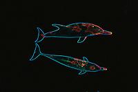 Digital composition Dolphin Aura - Atlantic spotted dolphin, Stenella frontalis, Bimini, Bahamas, Caribbean, Atlantic