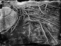 """Tree roots in the Trois Pignons area of the Fontainebleau forest in France. Claude François Denecourt created 11 official trails during his life, with a combined length of 150 km. Later, his chosen successor, Charles Colinet continued his work and added new trails. The footpaths were abandoned and fell into disrepair during the two World Wars. After the wars, the old trails were eventually repaired and new paths added, including the """"Circuit des 25 Bosses"""" (The 25 Bump Loop), that passes through the Trois Pignons. The latter trail was built by mountaineers in the 1970's to train for hiking in the Alps."""