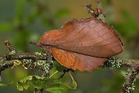 Kupferglucke, Kupfer-Glucke, Gastropacha quercifolia, Phalaena quercifolia, lappet, La Feuille morte du chêne, Glucken, Lasiocampidae. Tarnung, Tarntracht, Verbergetracht, Camouflage, Mimese, mimesis