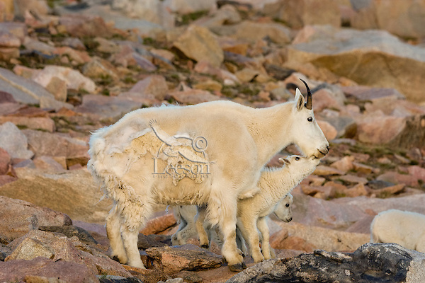 """Mountain Goat (Oreamnos americanus) nanny and kids among granite boulders in the Beartooth Mountains near the Wyoming/Montana border.  The nanny is shedding her heavy winter coat of fur to a new """"summer weight"""" fur coat which will grow long again for the next winter.  Twins are fairly uncommon among mt. goats and one of these kids probably belongs to another nanny that is outside this photo.  Early morning light, July."""