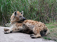 0213-08vv  Spotted Hyena, Laughing Hyena, Crocuta crocuta © David Kuhn/Dwight Kuhn Photography