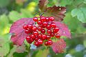 Guelder Rose / Crampbark {Viburnum opulus}. Strumpshaw Fen, Norfolk, UK. September.