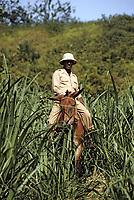France/DOM/Martinique/Rivière-Pilote/Distillerie La Mauny: Le surveillant des coupeurs de cannes à sucre dans un champ à dos de mulet