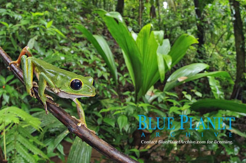 Black-eyed Monkey Treefrog (Phyllomedusa camba), adult male, climbing along branch in forest habitat, Los Amigos Biological Station, Madre de Dios, Amazonia, Peru, South America
