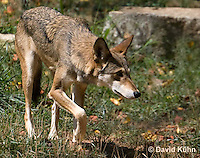 0822-1004  Critically Endangered Red Wolf, Canis rufus (syn. Canis niger)  © David Kuhn/Dwight Kuhn Photography