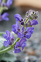 Dwarf silver-leaf sage (Salvia daghestanica), late May. From the Caucasus.