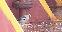 Hawfinch on 5/17/16 aboard the container ship APL China,  35.0650 N, 122.5117W