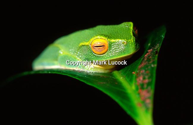 Dainty Green Tree Frog, Litoria gracilenta, Queensland
