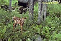 MA11-015z  White-tailed Deer - fawn - Odocoileus virginianus